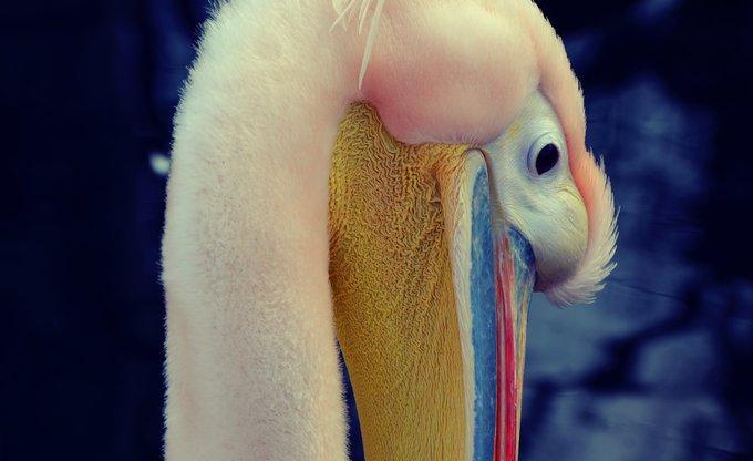 Pink Pelicano