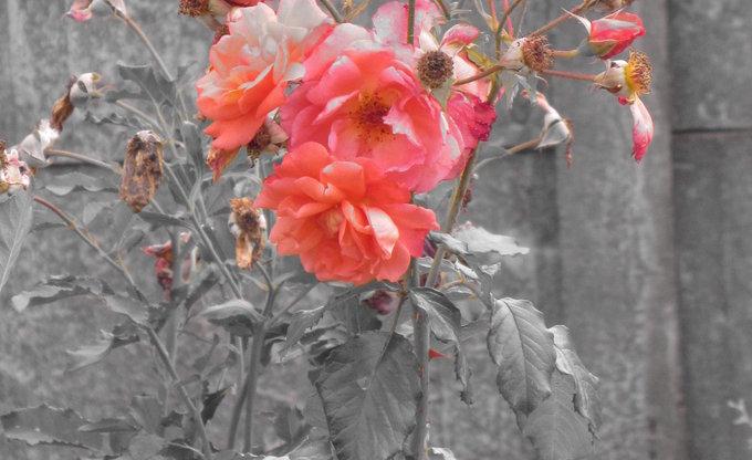 Eine Rose :)