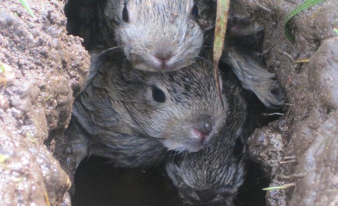 Babykaninchen im Bau