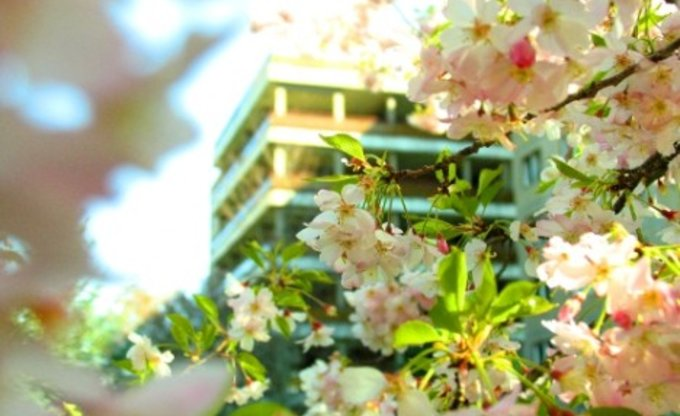 Kirschblütenplattenbau